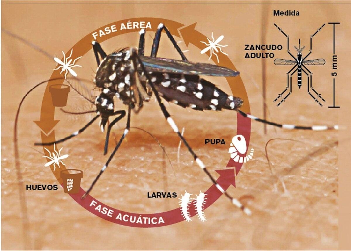 Así Es El Aedes Aegypti, Un Mosquito Que Tiene En Vilo Al Continente for Nombre Escrito Del Dengue Dibujado