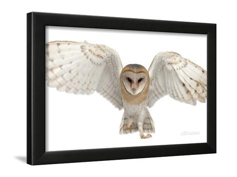 Barn Owl, Tyto Alba, 4 Months Old, Portrait Flying Against White for Printable Months Of Year Owl