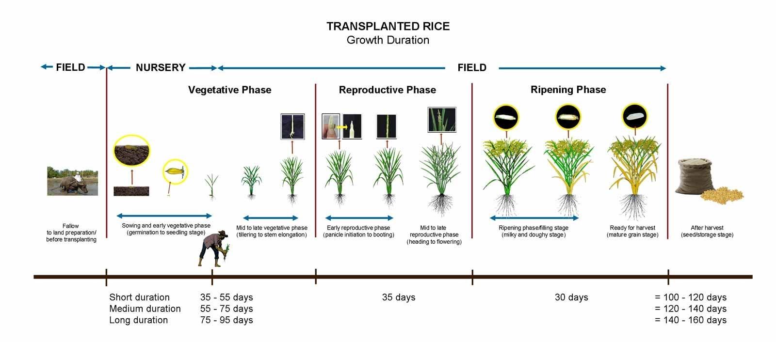 Crop Calendar - Irri Rice Knowledge Bank for Crop Calender Of Sri Lanka