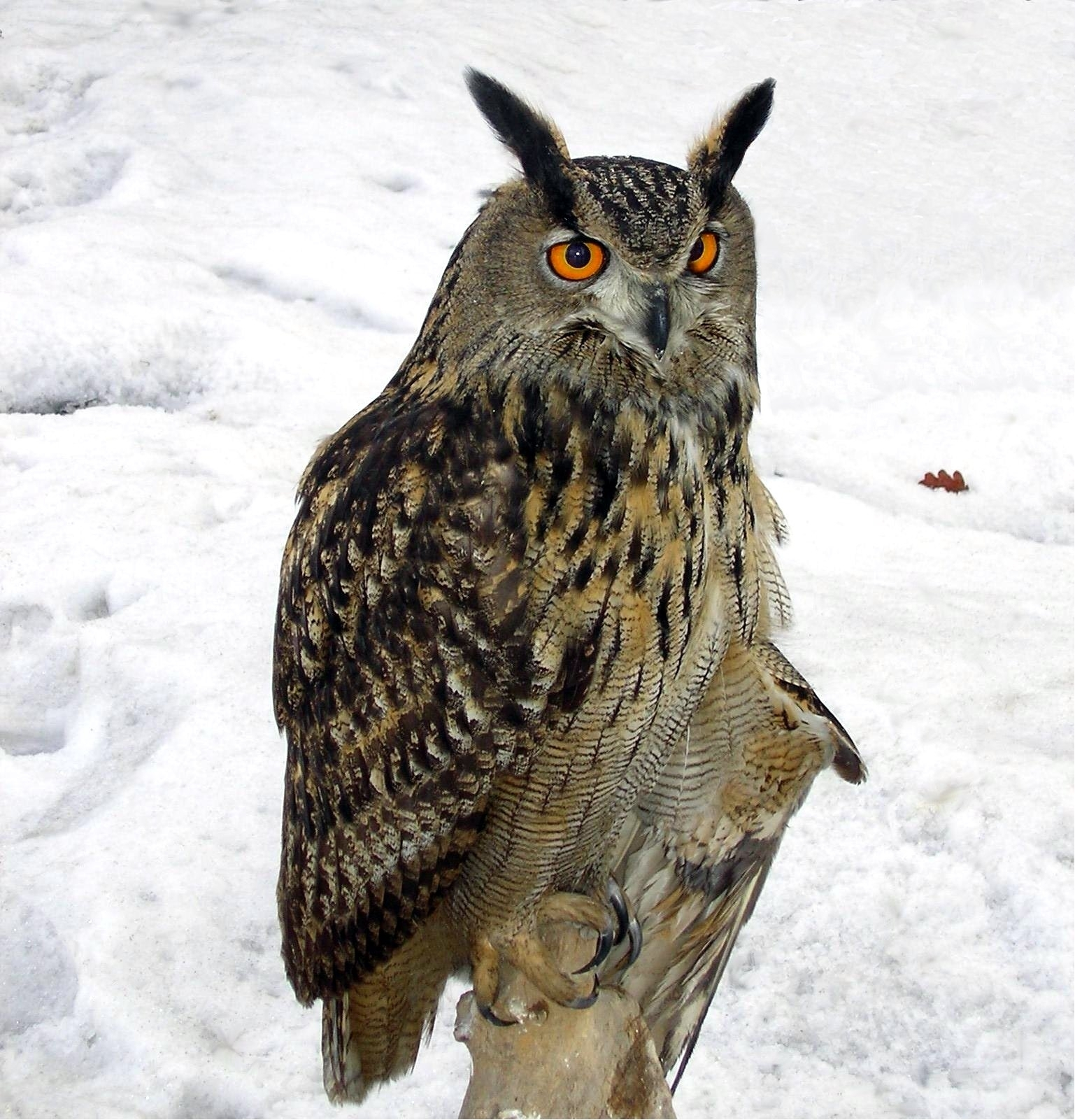 Eurasian Eagle-Owl - Wikipedia intended for Printable Months Of Year Owl