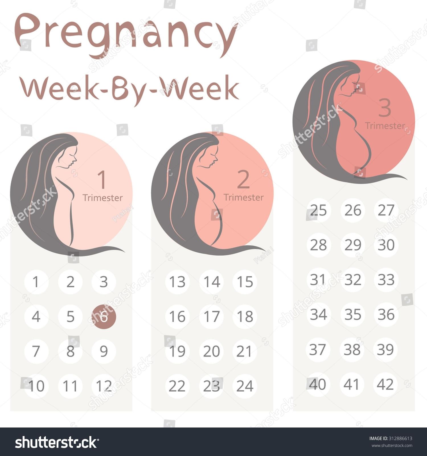 Pregnancy Weekweek Calendar Trimesters Stock Vector (Royalty intended for Pregnancy Week By Week Calendar