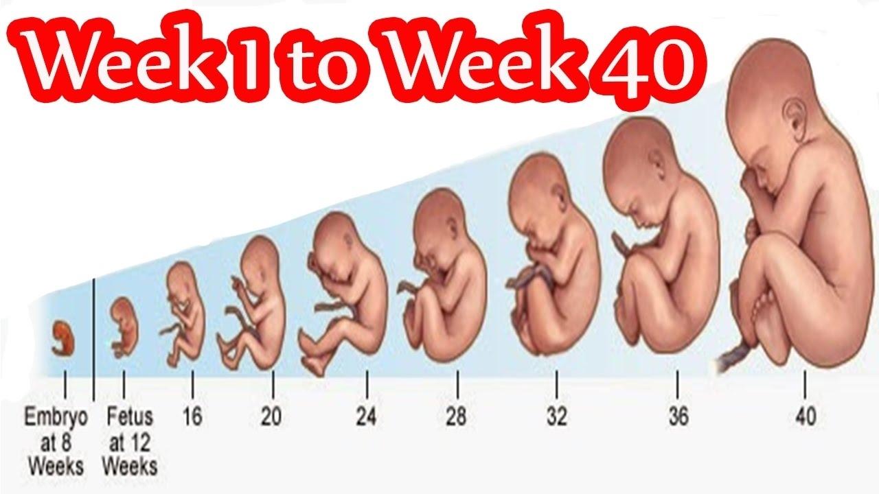 Pregnancy Weekweek- Fetal Development Week 1 To 40 In Mother's pertaining to Pregnancy Stages Months And Weeks