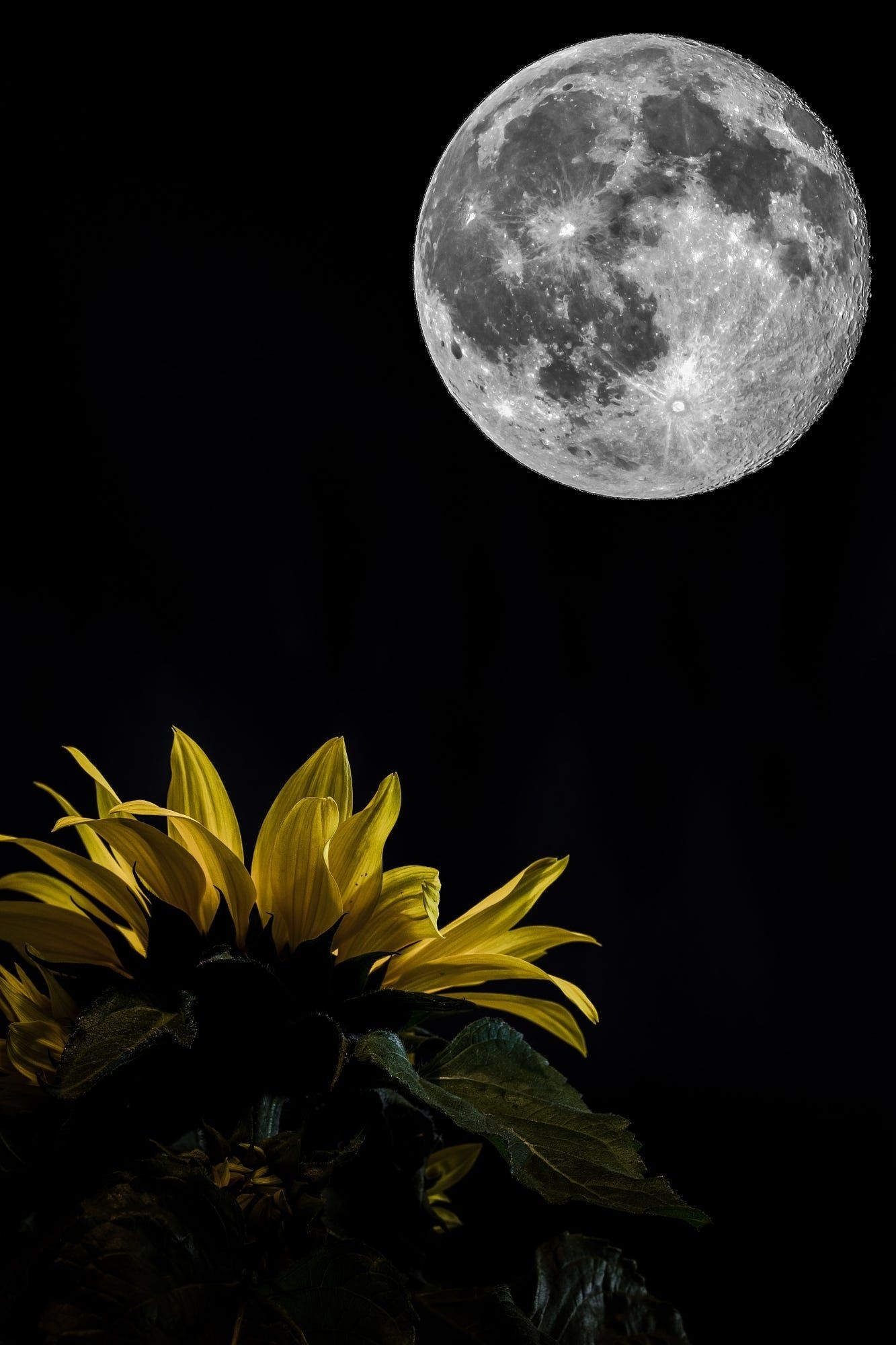 Related Image | Artwork | M O O N & S T A R S | Sunflower Pictures with Moon Pictures Moon Related Pictures