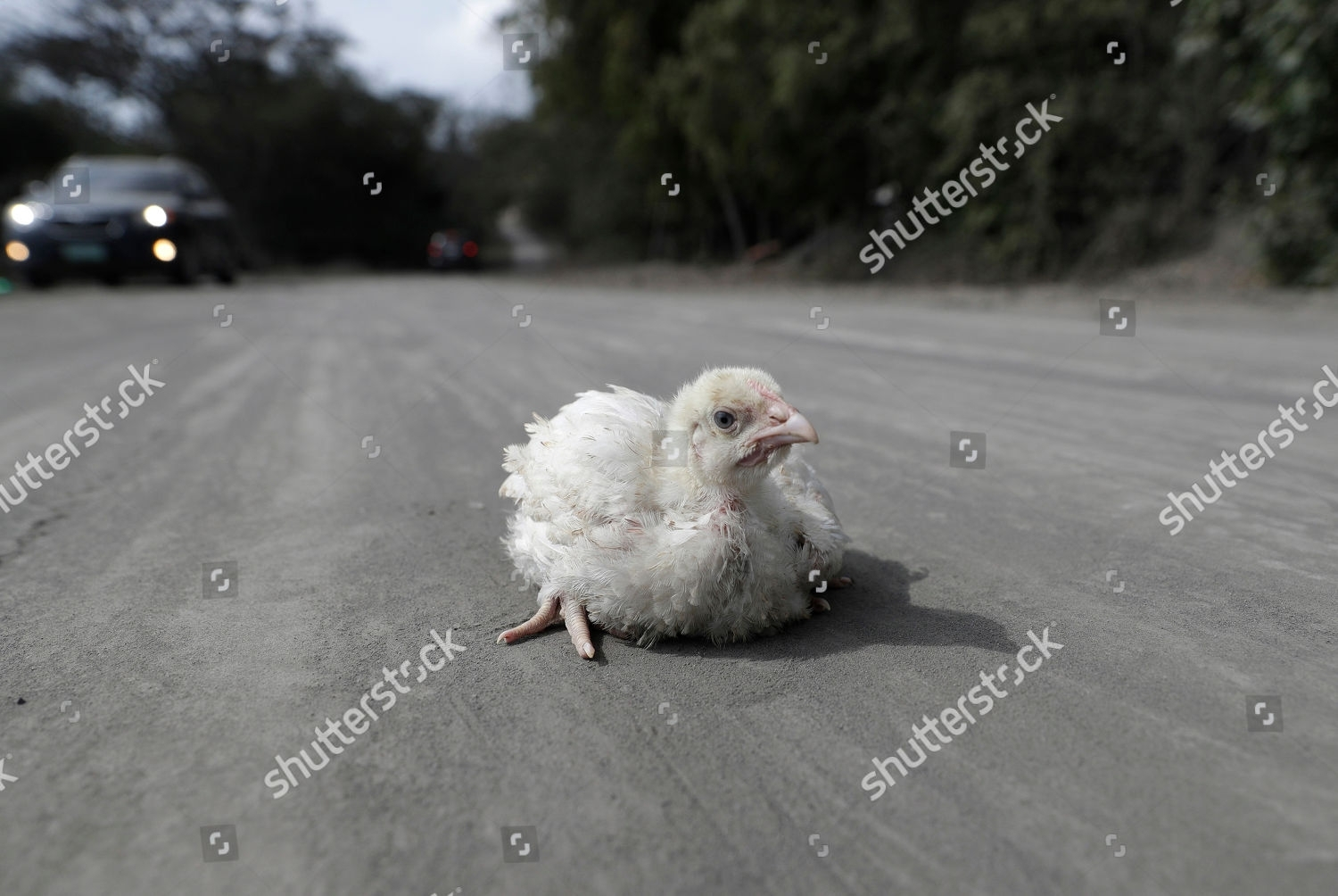 Chick Lies Alone On Road Covered Volcanic Editorial Stock for Chick To By In 2020